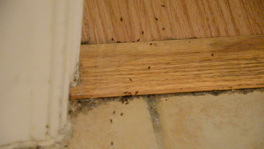 House Infested With Ants On Floor Tiles Carpet And Wood Floors