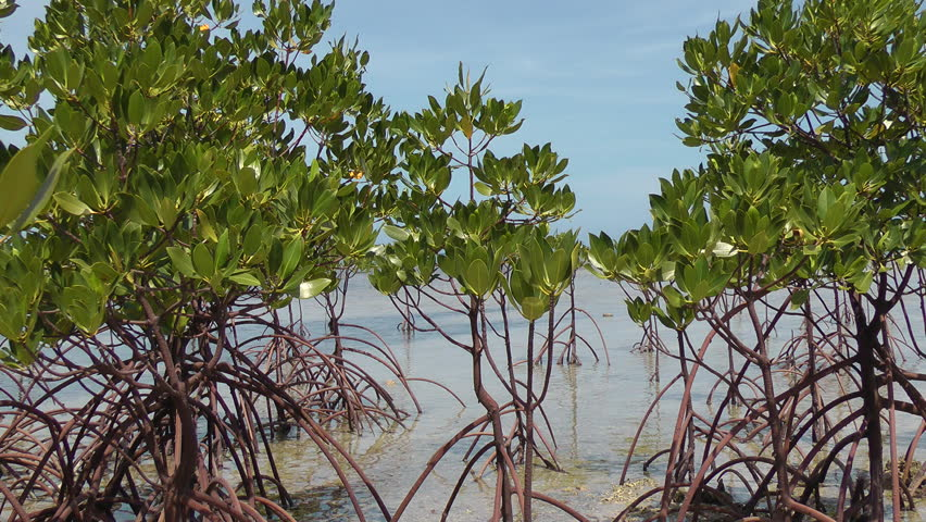 Mangrove trees next to the ocean during lowtide in Philippines