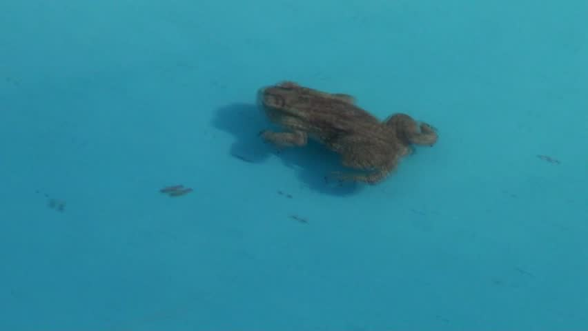 Frog and Water: A frog swims in the cool waters of a pond in Kishkindha Moolika Bonsai Garden in Mysore city, India. Set among serene environs of Sri Ganapathy Sachchidananda Swamiji's Ashrama.