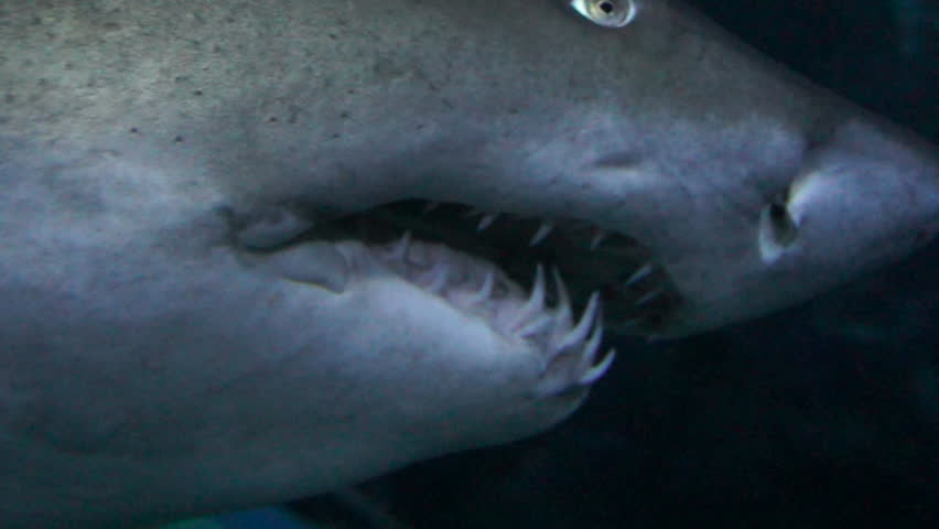 Ragged-tooth Shark close up while swimming past. | Shutterstock HD Video #3686540