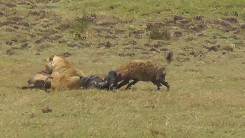 Female lion defending pray against hyena