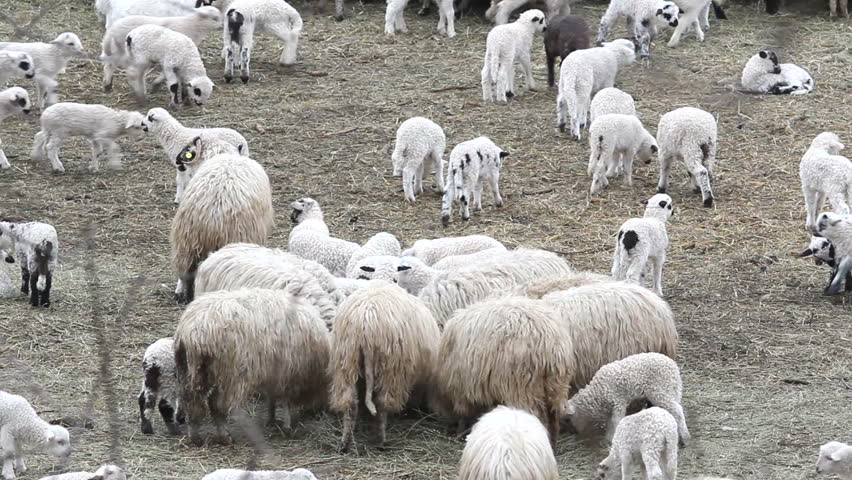 White sheep herd
