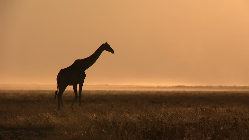 Giraffe silhouette at afternoon