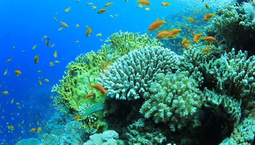 HD Video footage of Tropical Fish on an underwater coral reef