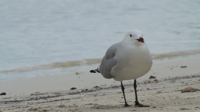 Header of Audouin's gull