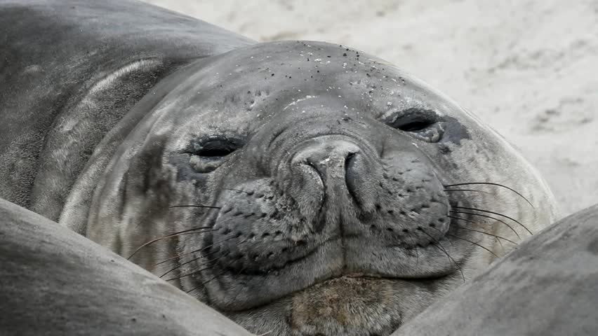 Southern Elephant Seal is resting