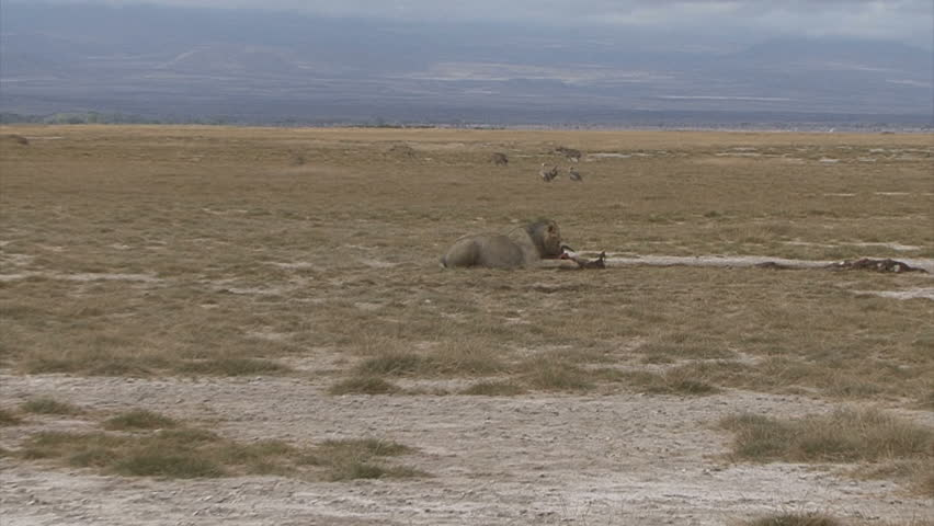A scenic shot of a hyena pack approaching a feeding lion with zoom into him in
