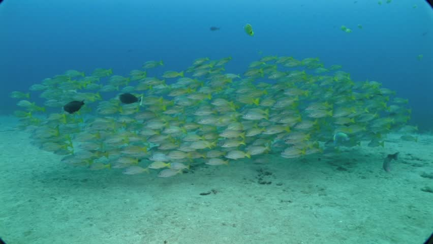 Blue-striped snappers shoal in Maui, Hawaii.