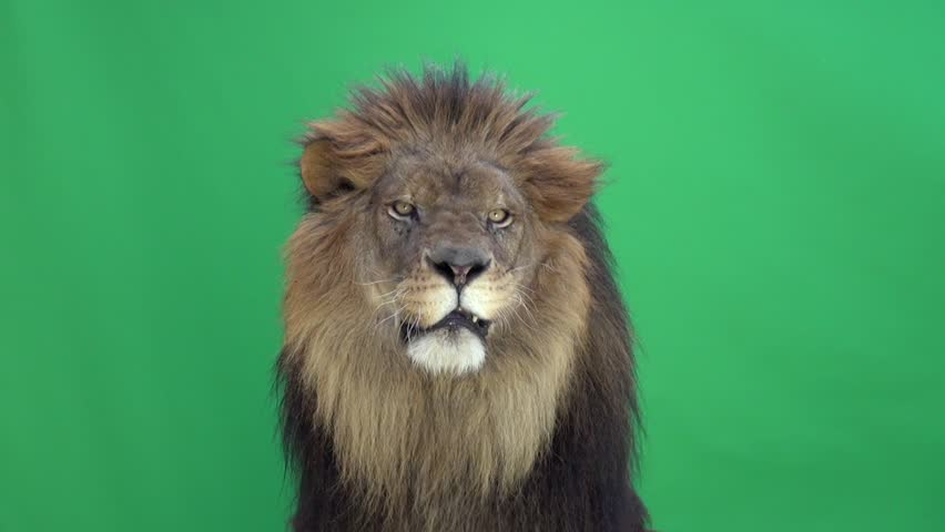 Lion looking around and at the camera in front of a green key