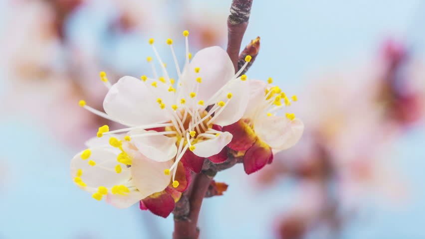 HD macro time lapse video of an apricot flower growing and blooming on a blue background/Apricot flower blossoming macro time lapse