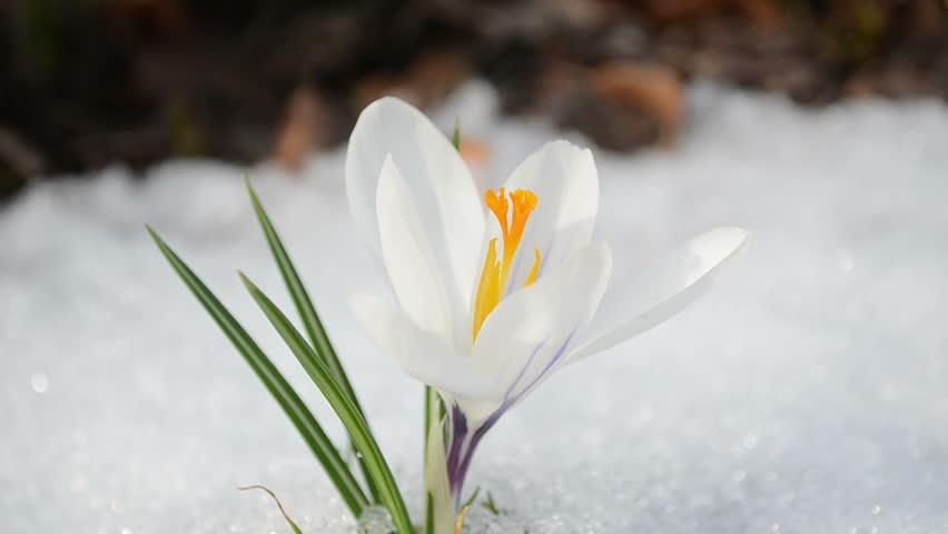Saffron Crocus First Spring Flower Stock Footage Video 100 Royalty