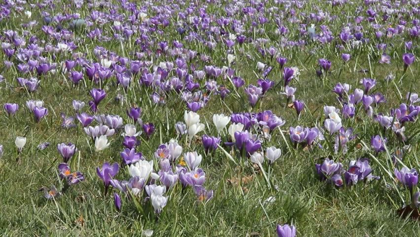 Field of crocuses | Shutterstock HD Video #3862490