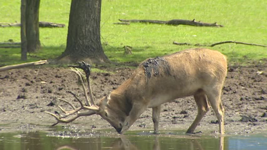 Swamp with Pere David's Deer (Elaphurus davidianus) in rut scrubs antlers in mud. Nowadays Pere David's Deer is known only in captivity.