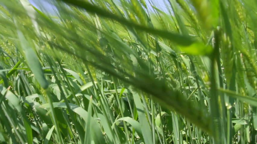 Green Wheat Field Waves Moved by Summer Wind Nature Crane Shot Background HD