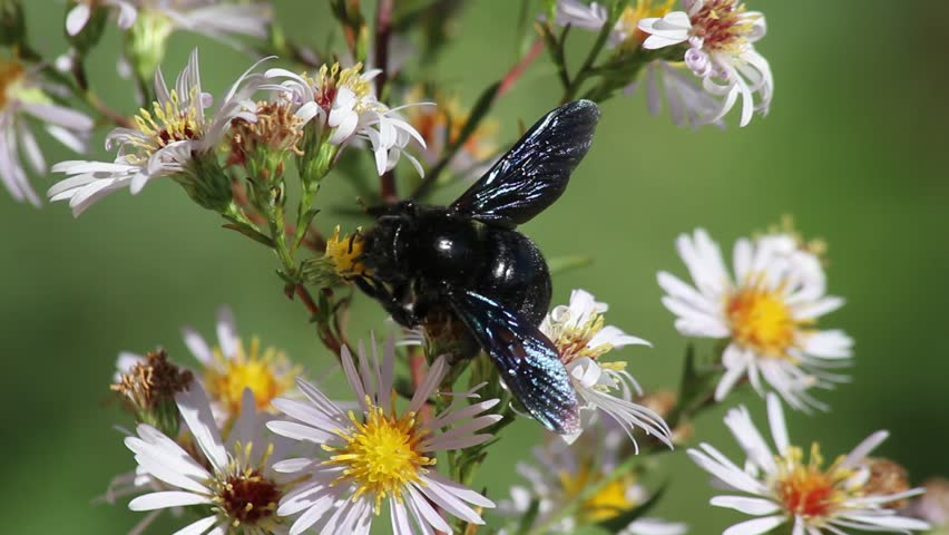 Bumblebee black body and wings of blue, purple or violet flying and sucking the nectar of flowers (Xylocopa violacea). Called Bumblebee Bumblebee wood or carpenter