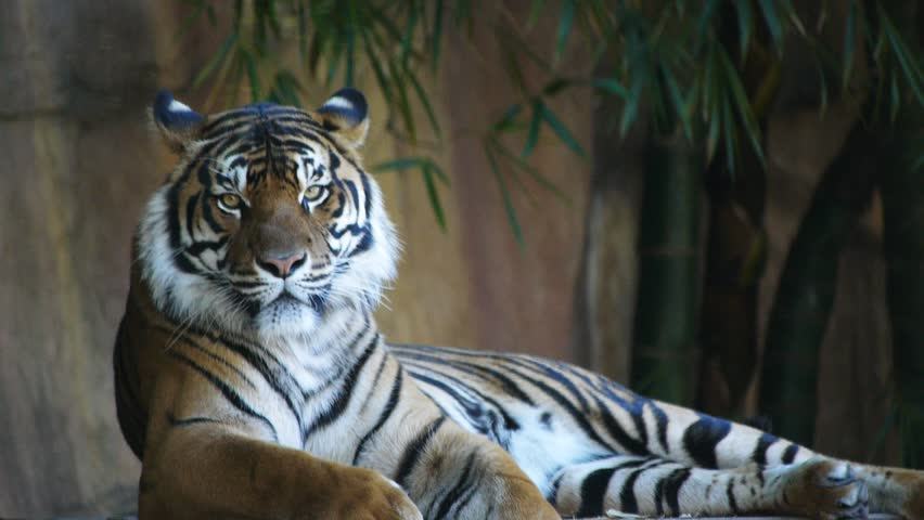 a sumartran tiger laying down