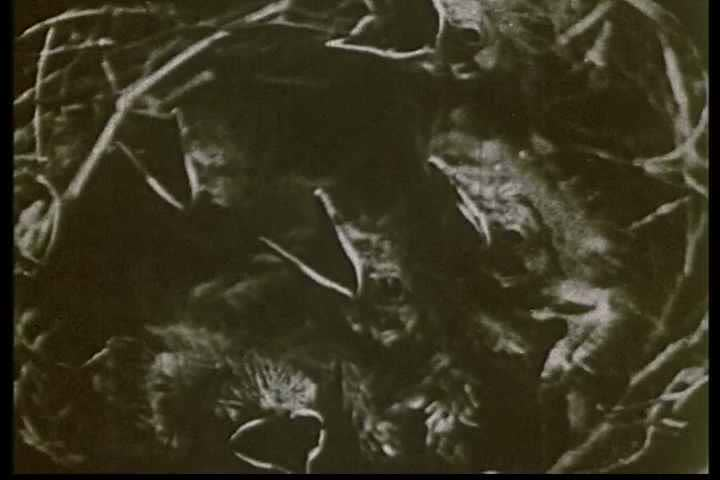 1920s - Early naturalist filming on the behavior of birds.