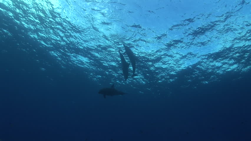 Dolphins play with each other, socializing | Shutterstock HD Video #3951575