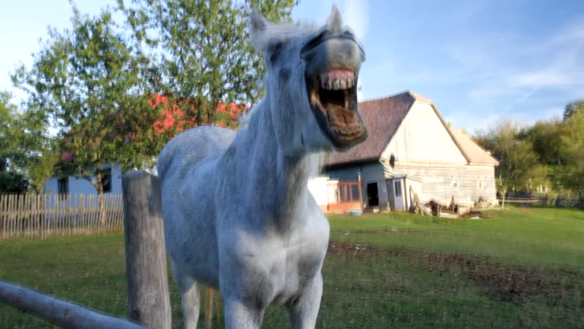Yawning horse at country side
