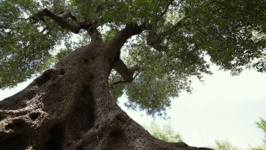 Mediterranean olive tree. Perspective bottom view