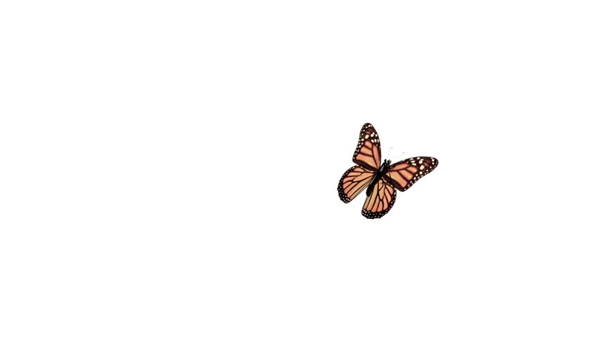 7b05d67ca Butterfly Flying On a White Stock Footage Video (100% Royalty-free ...