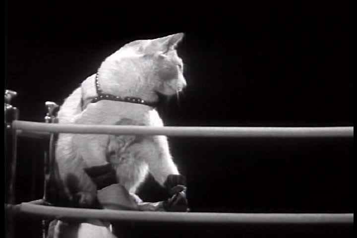 1930s - Chevrolet Leader News excerpt 1937. Two cats in 'boxing' ring battle it out; dogs at ringside watch. Paws are covered with safety gloves to protect cats' eyes and faces.
