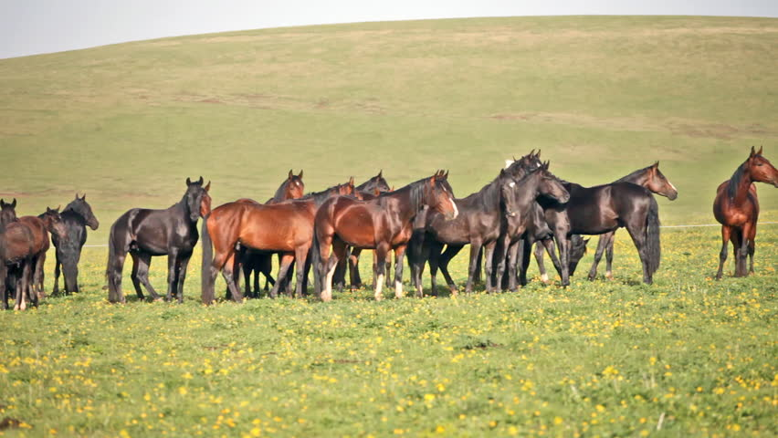 Herd of horses on a summer green pasture | Shutterstock HD Video #4044844