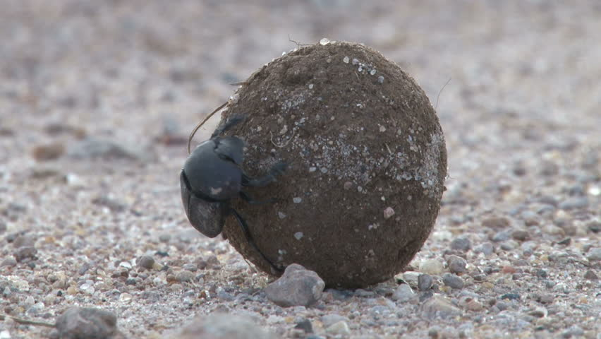 dung beetle transporting his dung to the nest