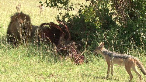lion and jackal face each over food