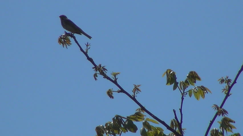 Nightingale Singing On a Branch, Stock Footage Video (100% Royalty-free)  4082890 | Shutterstock