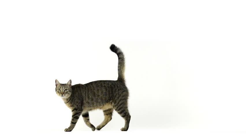 Cat walking and looking at the camera, in 50fps