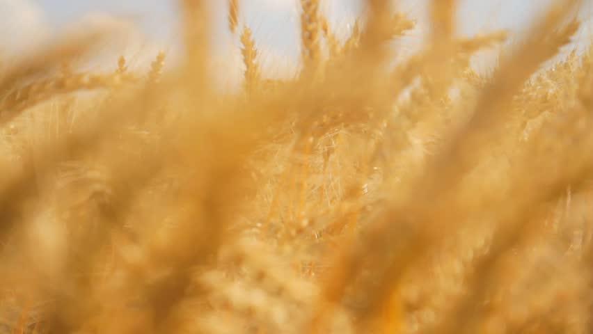 Field Ripe Wheat Wind Waves Crane Shot HD