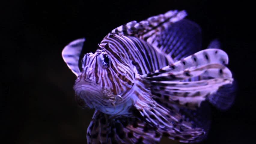 Lion Fish Slow Motion