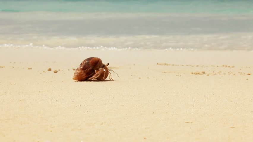 Crab moving across the beach on white sand moving from one side to another