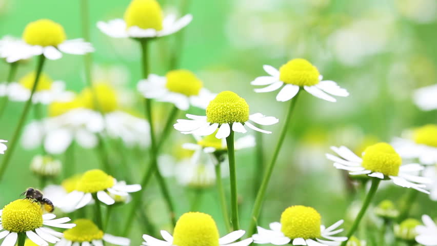 White and yellow daisies blooming in a summer field