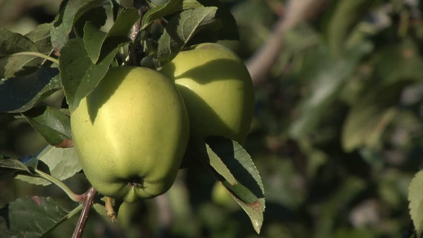 Close up of an apple tree, centered on a pair of bright green apples.