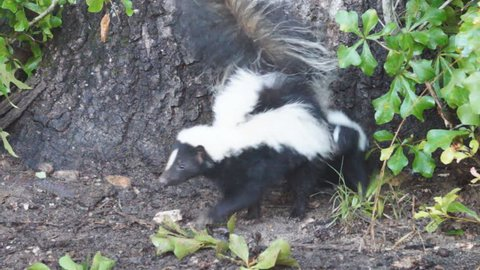Striped Skunks (Mephitis mephitis) in Georgia, mother and baby in June.