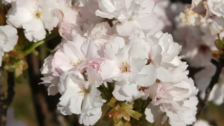 Close up of apple blossoms in a blooming apple tree.