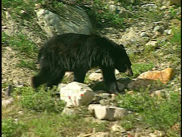 black bear walking away then eating (BetacamSP)