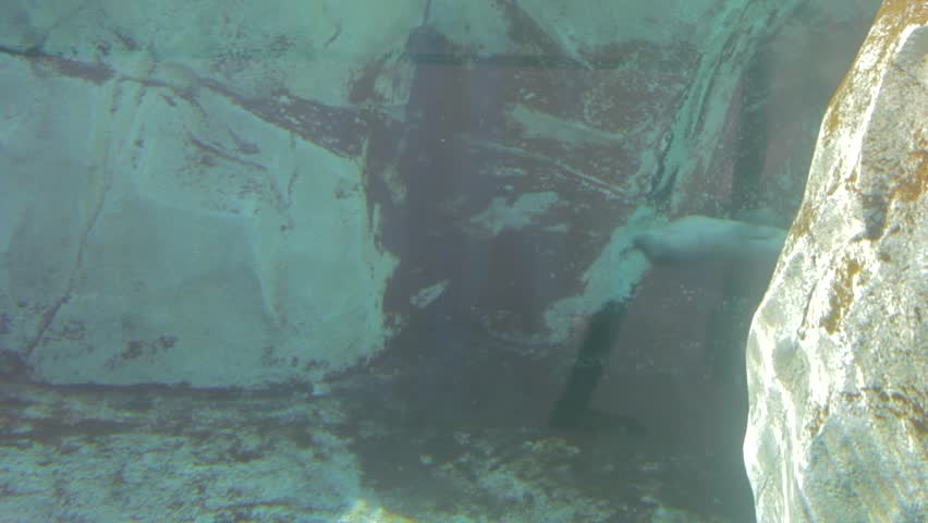 A seal swimming in an aquarium at a zoo