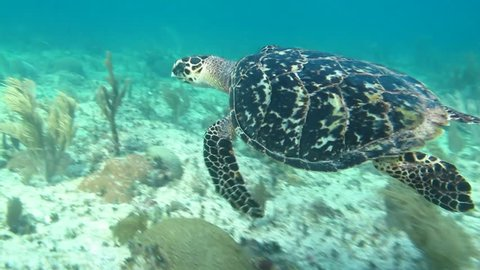 Sea turtle swimming in the coral reefs of the caribbean sea, Riviera Maya. Mexico