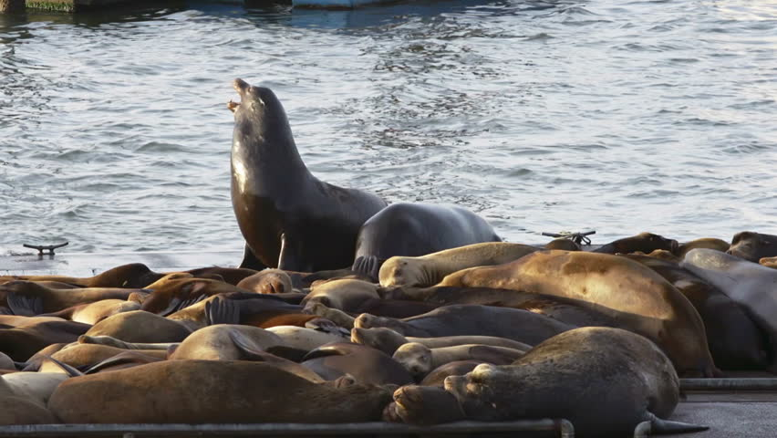 Two Stellar Sea Lions wrestle on the Astoria docks while others snooze