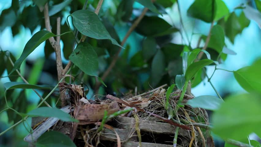 Mother bird feeding baby birds. Newborn hungry baby birds in nest