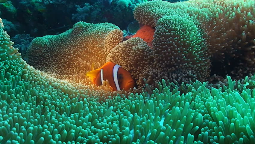 clown fish in anemone, red sea