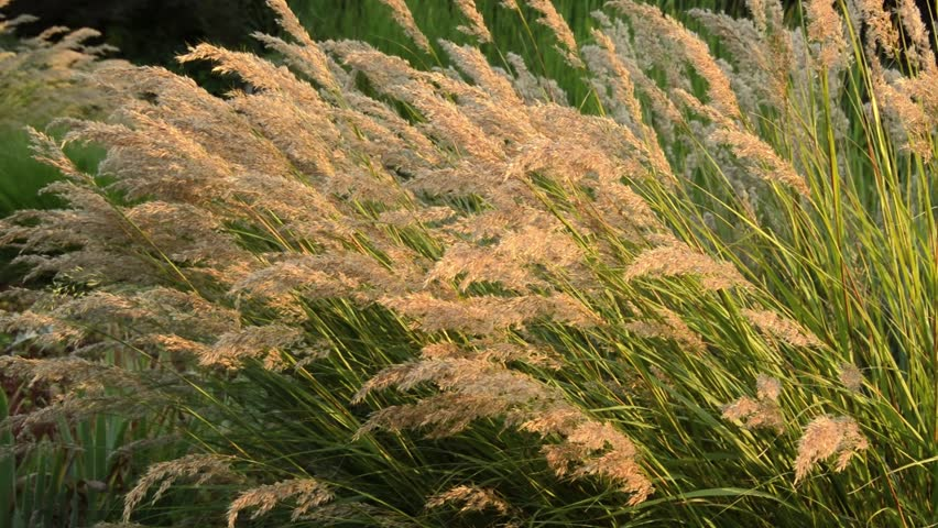 Header of Achnatherum calamagrostis