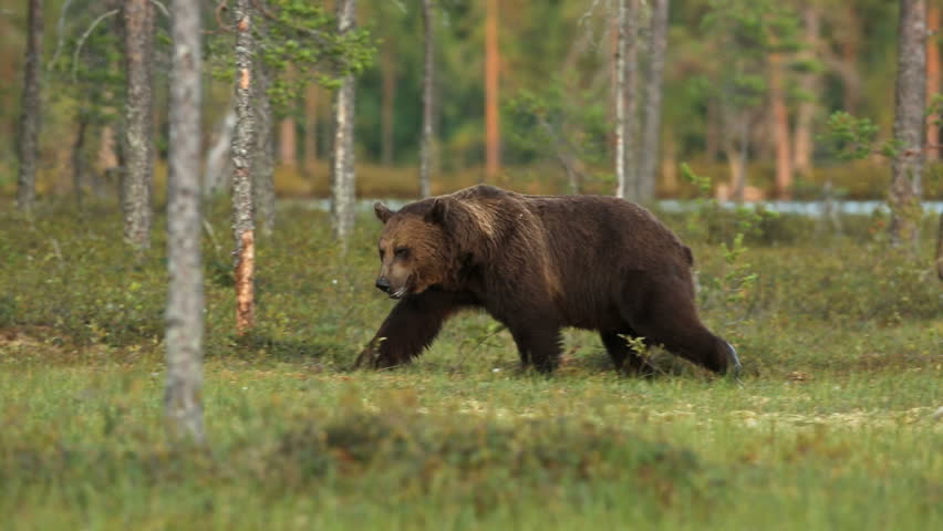 Brown Bear in forest walking in search for food