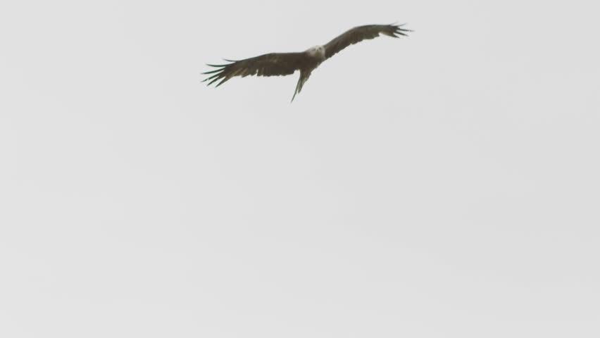 Flying hawk hunting