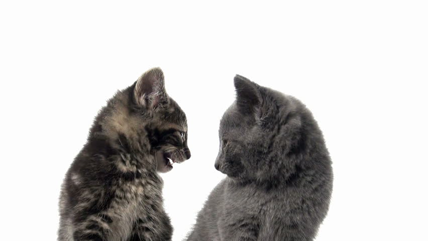 Two baby American shorthair kittens looking back and forth on white background