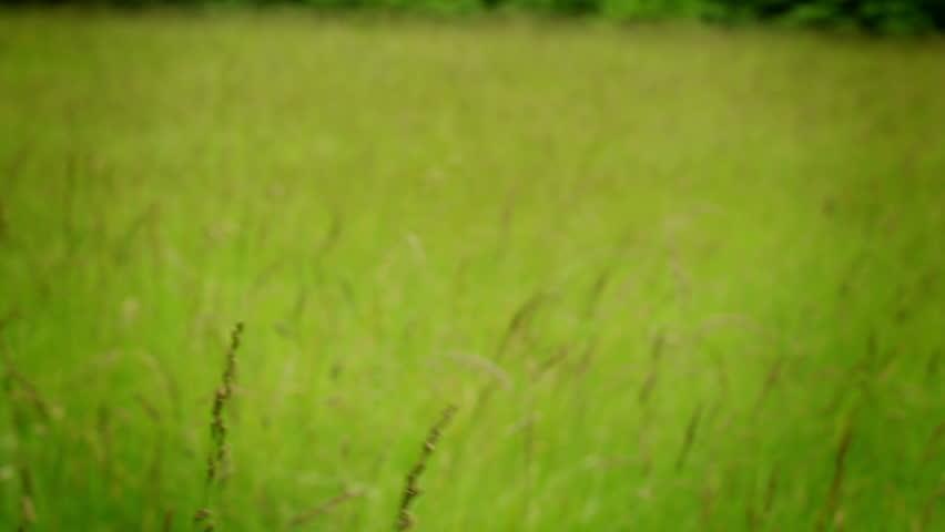 tall green grass field. A Pan Across Green Field Full Of Tall Grass Blowing In The Wind Breeze