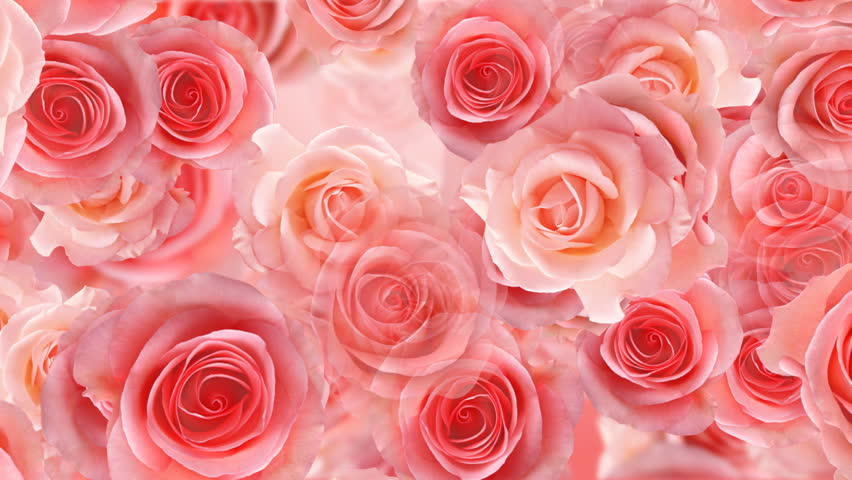 rose flower backgrounds stock footage video 459688